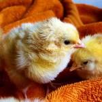 chicks-573377_640